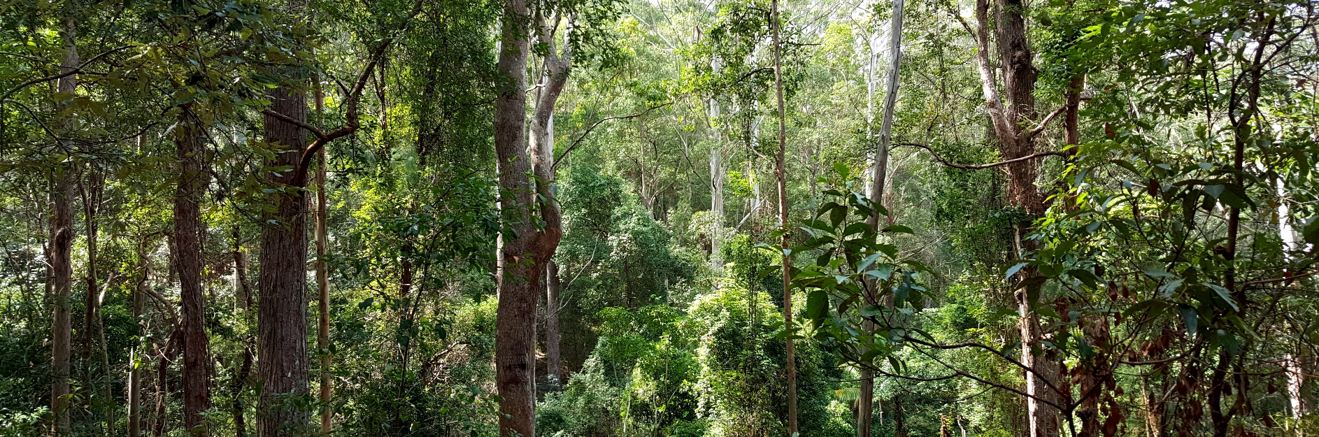 Ancient Eucalypt Forest